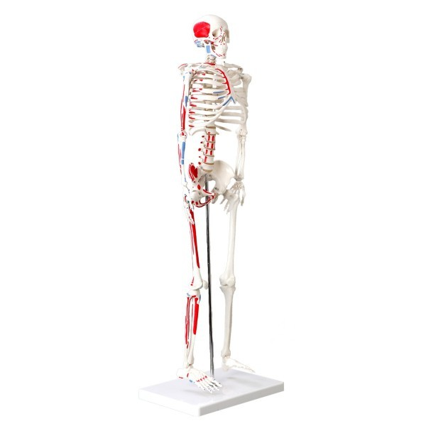 Skeleton, muscle painted, numbered, 85cm