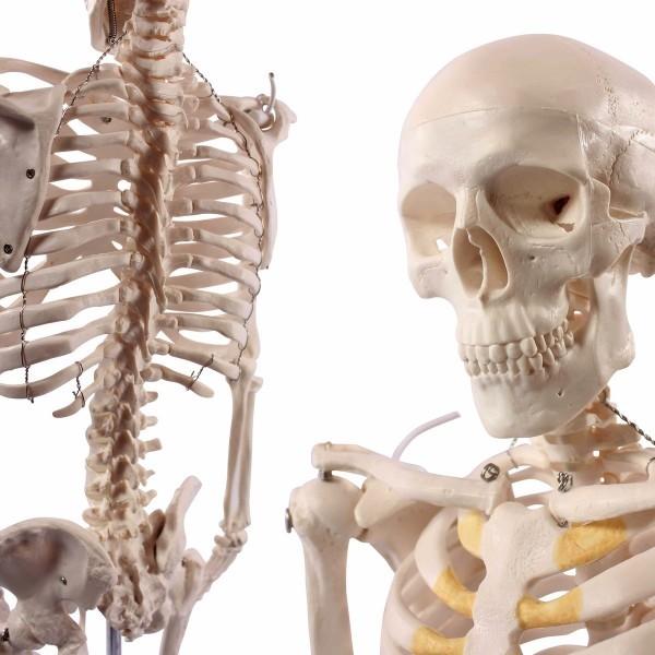 Skeleton, Mini, 85cm