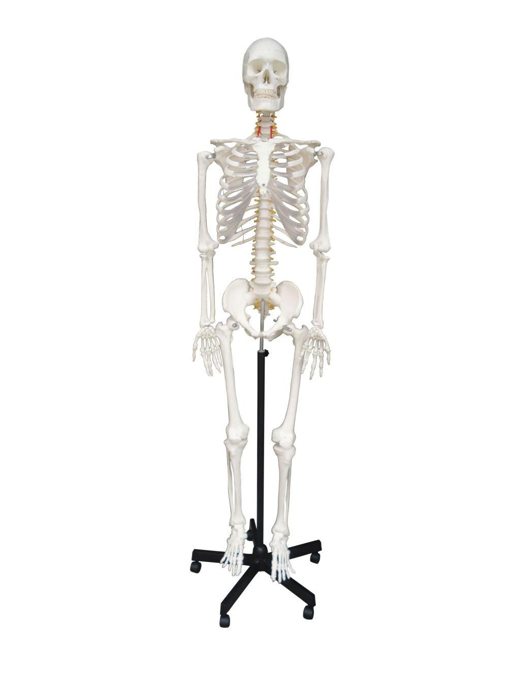 Skeleton, life size, 170cm