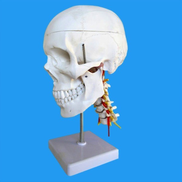 Human Skull Model,with 7 cervical vertebrae, nerve and artery, on stand
