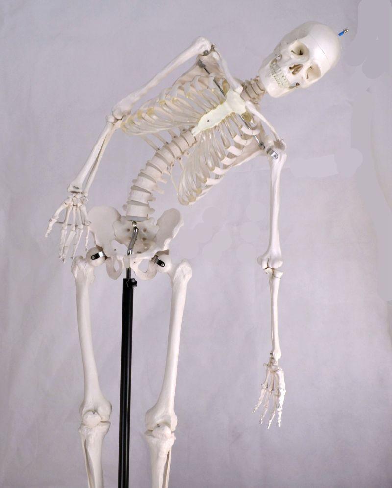 Skeleton Model, Flexible, Life Size, 170cm
