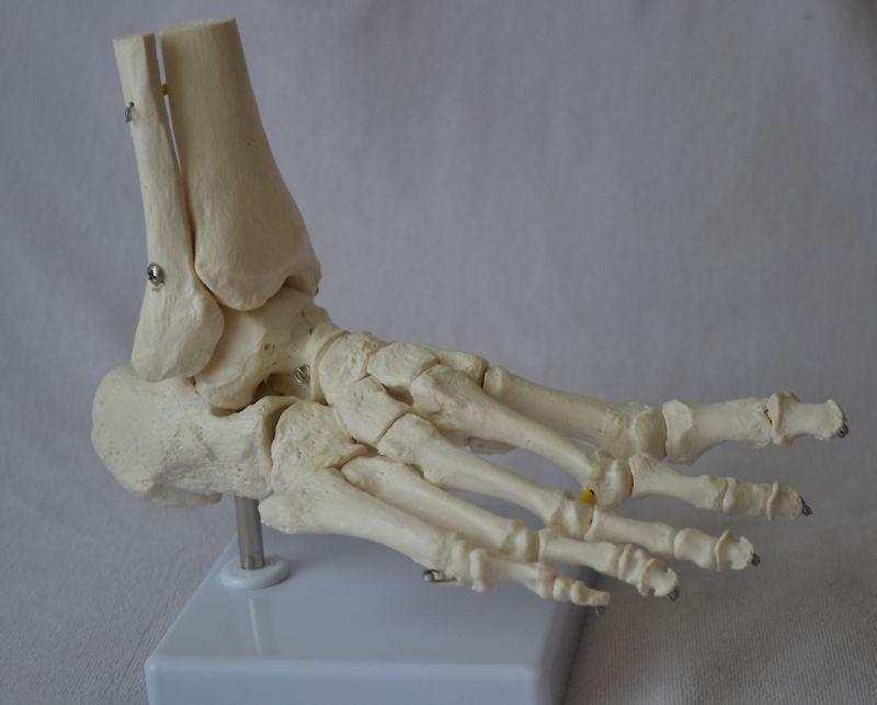 Foot Model, Flexible, Life size