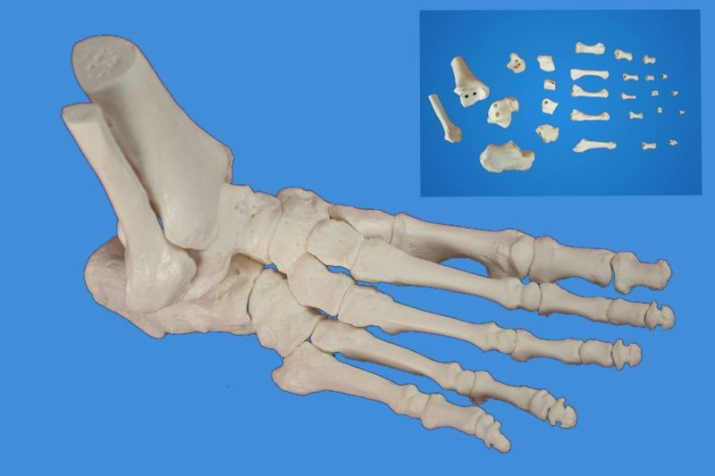 Foot Skeleton Model,Disarticulated and Assembled by magnets,Life size