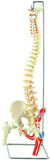 Spine Model with Femur Heads and Painted Muscles, Flexible, Life Size