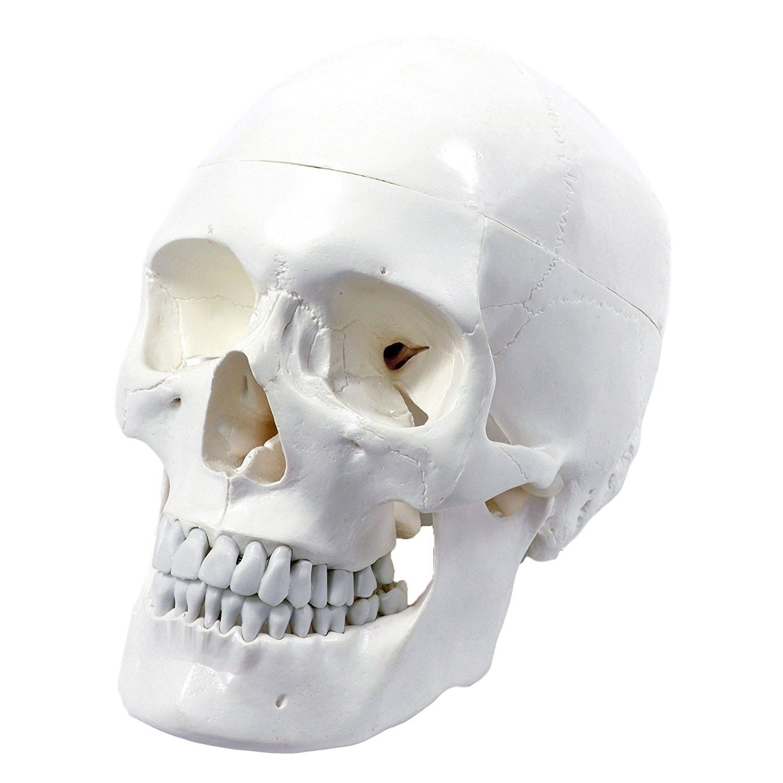 Skull, 3-part, life size