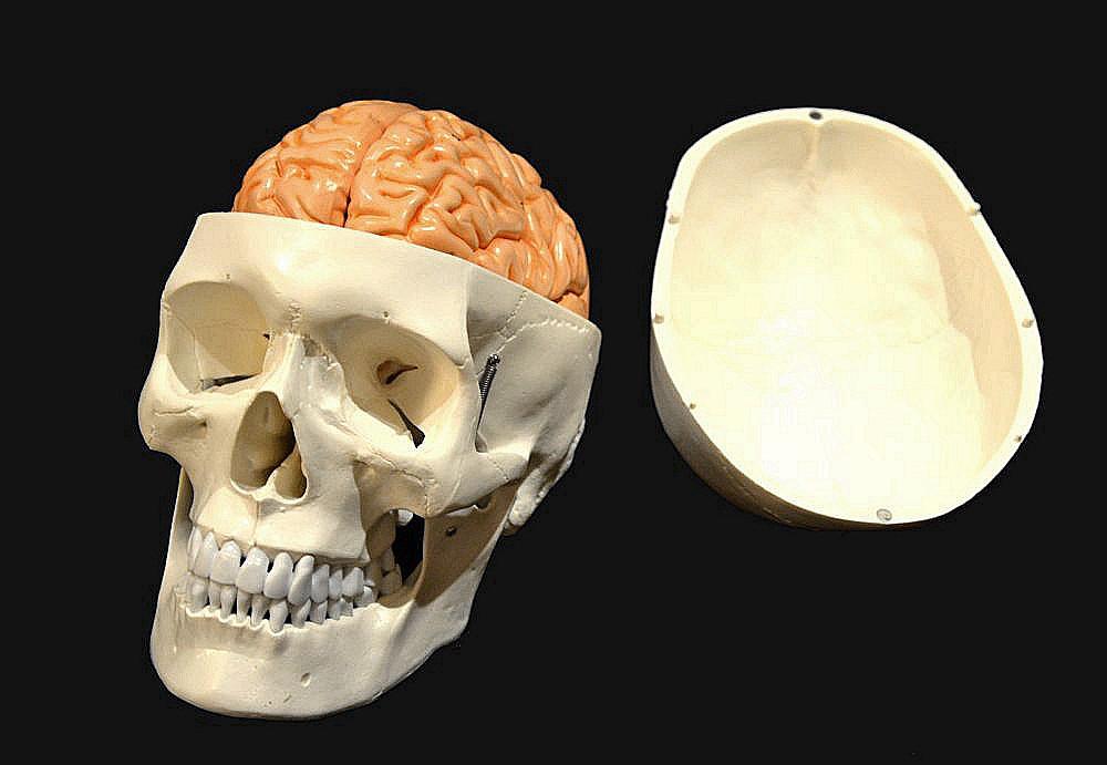 skull with brain