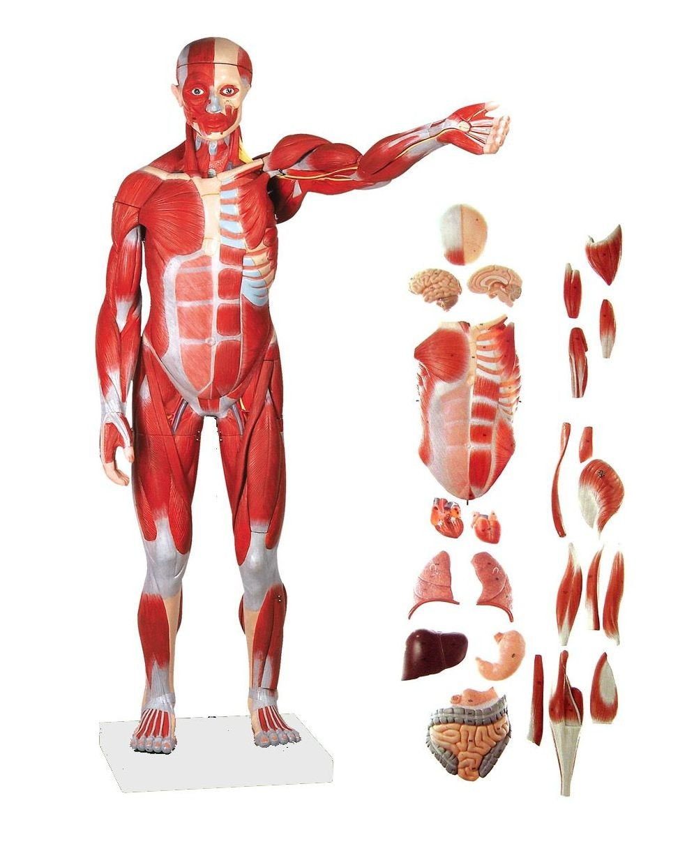 Human Muscular Figure Model, 27-part, 1/2 Life Size