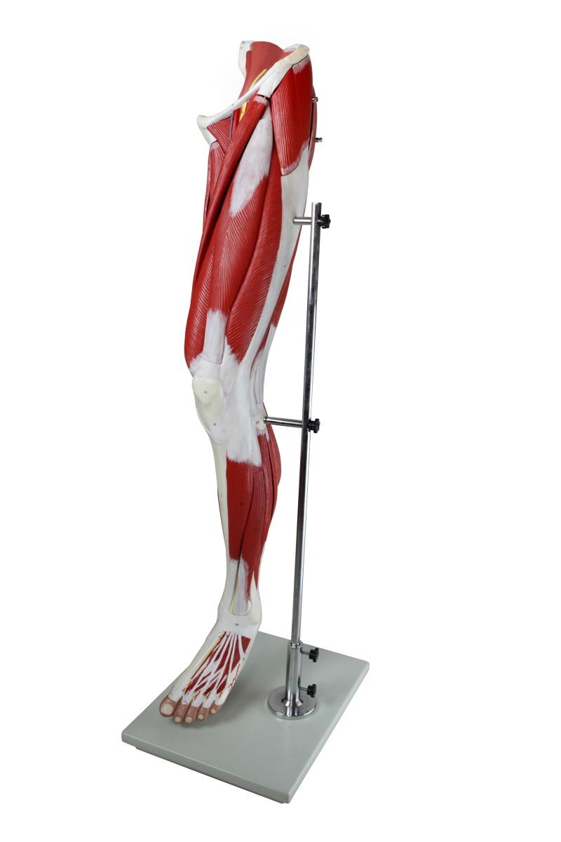 Muscular Leg Model, 13 Parts, Life Size