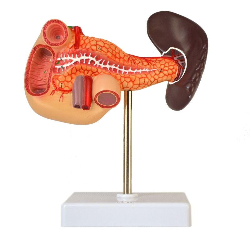 Human Pancreas, Duedenum, Spleen Model, Numbered, Life Size