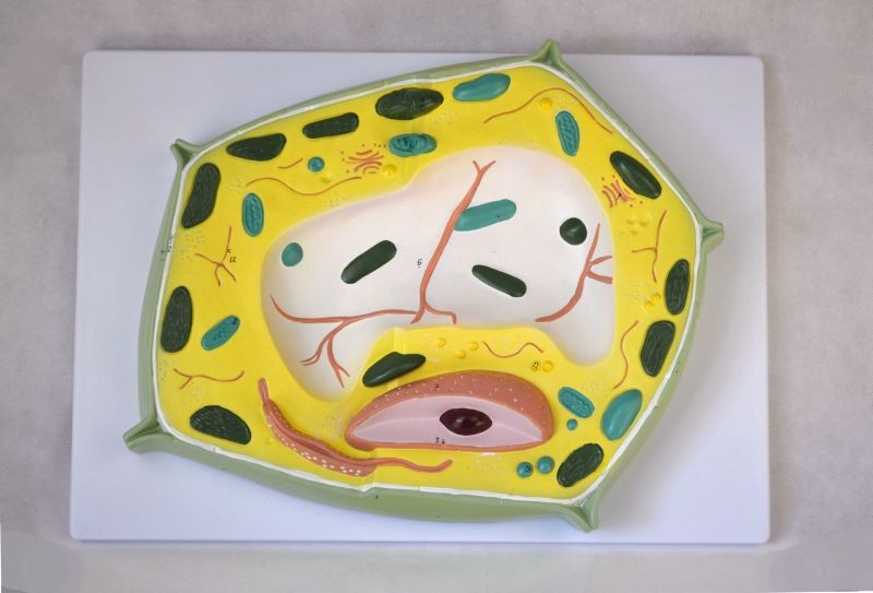 Plant Cell Model, 20,000X Enlarged