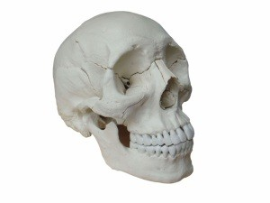 Adult Osteopathic Skull Model, 22-part, Bone Color