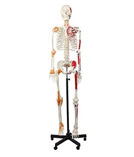 Skeleton, Muscular Painted, With Ligament,  Numbered, Life Size, 170cm