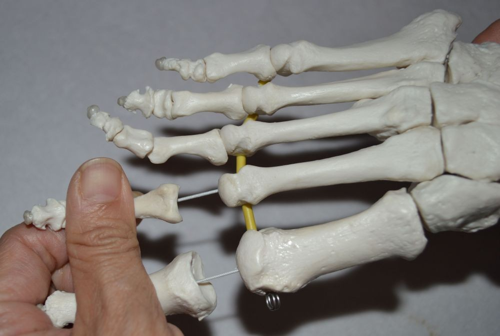 Elastic Foot Demonstration Model