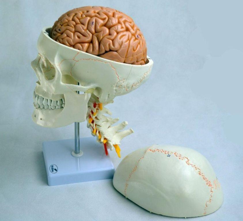 Human Skull Model, with cervical vertebrae and brain