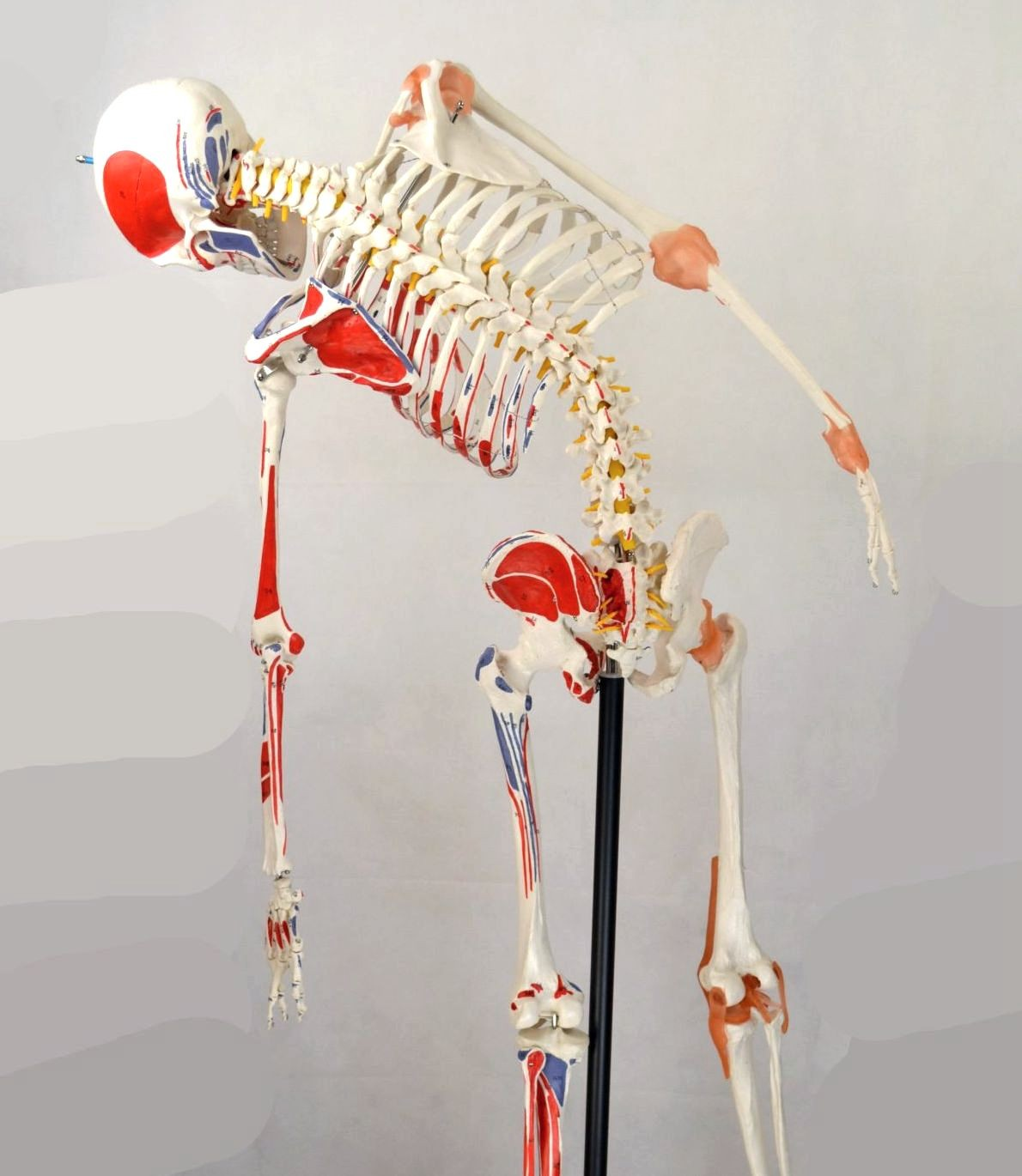 Skeleton,  with Flexible Spine, Articulated, w/Ligament & Muscle Insertions, Life Size, 170cm