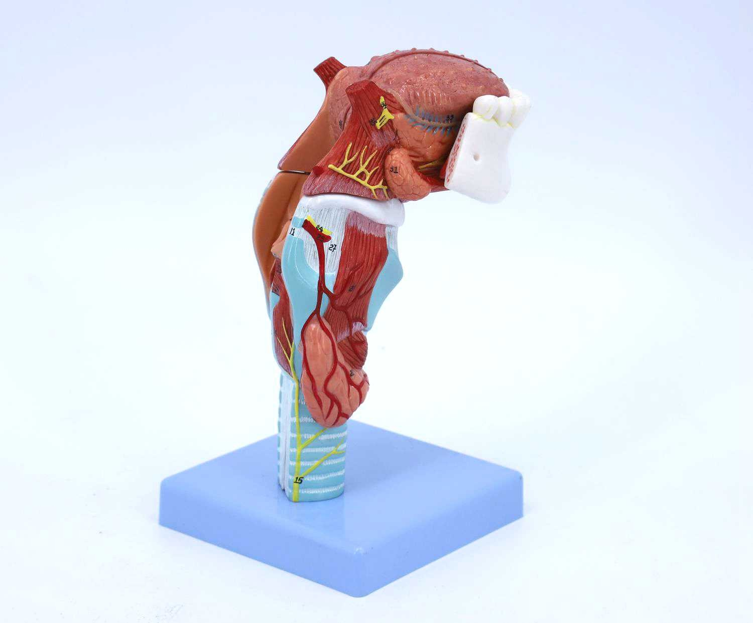 Larynx Model with Tongue and Lower Jaw, 5 Parts, 2X