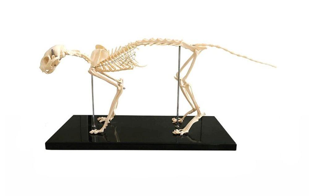 Feline (Cat) Skeleton Model, Life Size