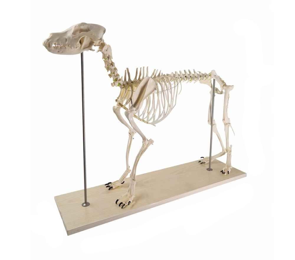 Canine (Dog) Skeleton Model, Life Size