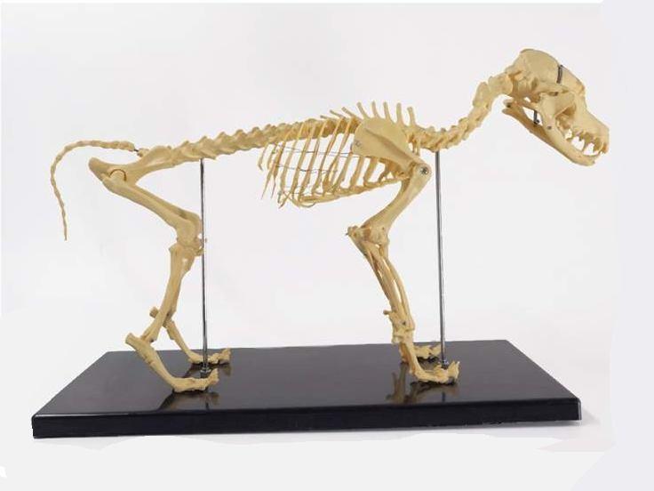 Canine (Dog) Skeleton Model, Small Size