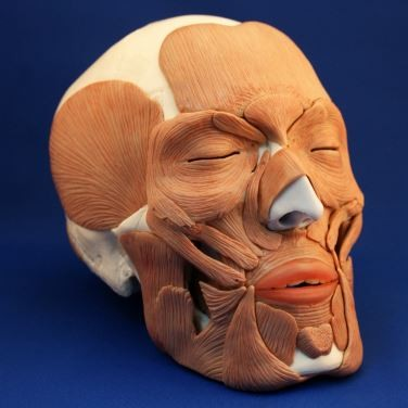 Anatomical Skull with Facial Musculature Model, Life Size