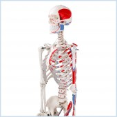 Skeleton, Muscular Painted, Numbered, Life Size, 170cm
