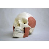 Skull Model with 8 Masticatory Muscles