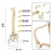 Anatomical Classic Spine Model with Femur Heads, with Adjustable Sacroiliac Joint and Symphysis Pubis, Flexible, Life Size