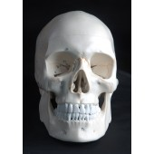 Human Skull Model, 3-part, numbered, with sutures, life size