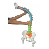 Super Flexible Spine Model with Pelvis and Femur Heads, Color Coded, Life Size