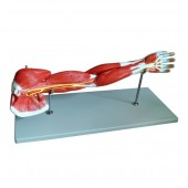 Muscular Arm Model, 7 Parts, Life Size