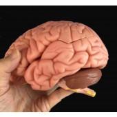 Brain Model, 8 Parts, Life Size