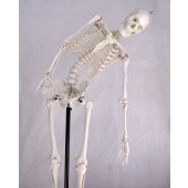 Skeleton Model, Flexible, Life Size, 170cm