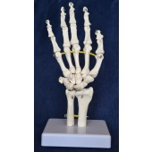 Hand Model, Flexible, Life size