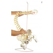 Super Flexible Spine Model, Life Size