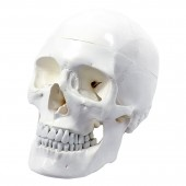 Skull, 3-part, life size