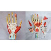 Hand Model with Ligaments, Muscles, Nerves and Arteries, 7-Part, Life Size