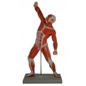 Human Muscular Figure Model, 1/4 Life Size