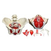 Anatomical Female Pelvis Model with Removable Organs, 6-part, Life Size