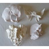Bone Model Set