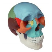 Adult Osteopathic Skull Model, 22-part, Didactic Colored