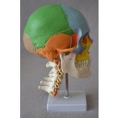 Didactic Colored Human Skull Model,with 7 cervical vertebrae, nerve and artery, on stand