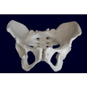 Female Pelvis Skeleton Model, Life Size