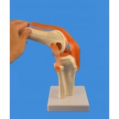 Knee Joint Model,  Life Size