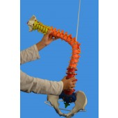 Didactic Colored Super Flexible Spine Model, Life Size