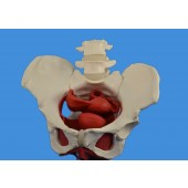 Female Pelvis Model w/ Removable Organs, 6-part, Life Size, Un-Colored version