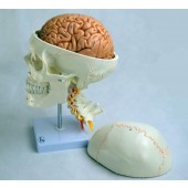 Human Skull Model, with cervical vertebrae and brain