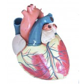 Jumbo Heart Model, 3-part, 3X Enlarged,