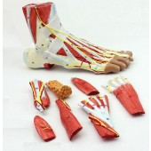 Foot Skeleton Model with Ligaments, Muscles, Nerves and Arteries, 9-Part, Life Size, Finest Details